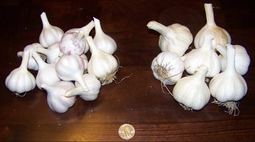 What is the difference between Seed Garlic and Food Garlic?