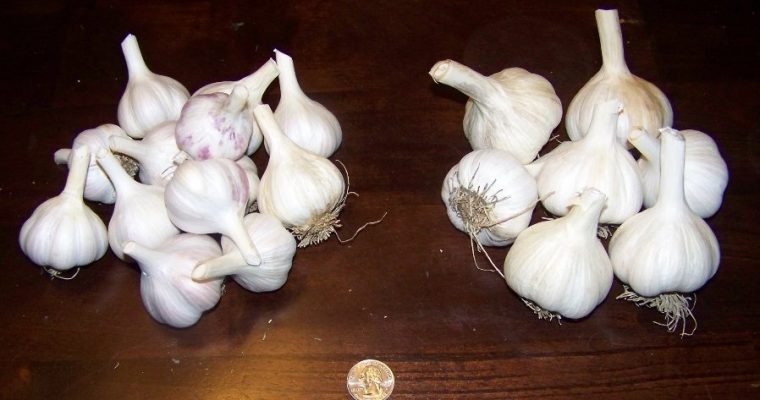 Which Size of Garlic to Buy?